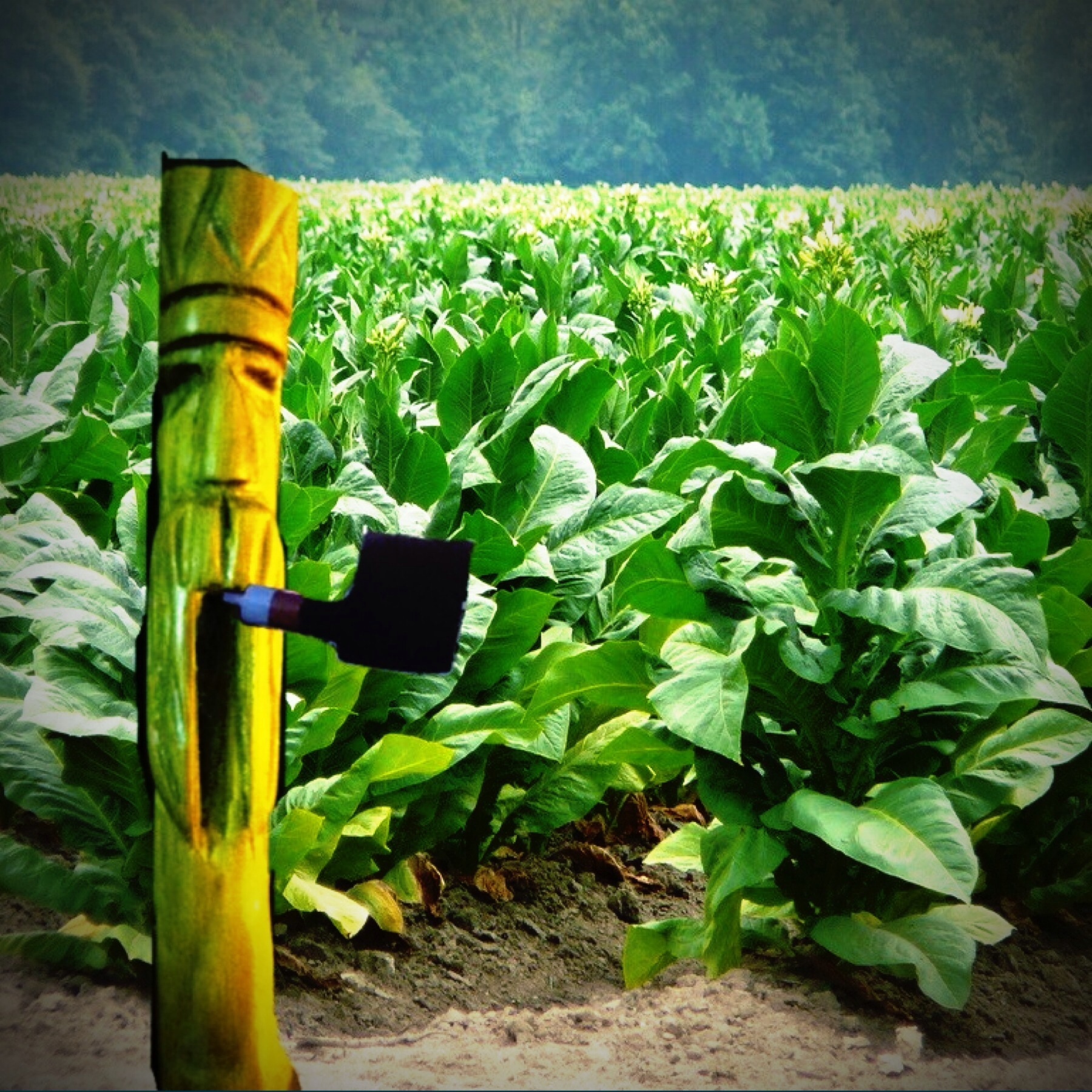 Guarding the Tobacco fields